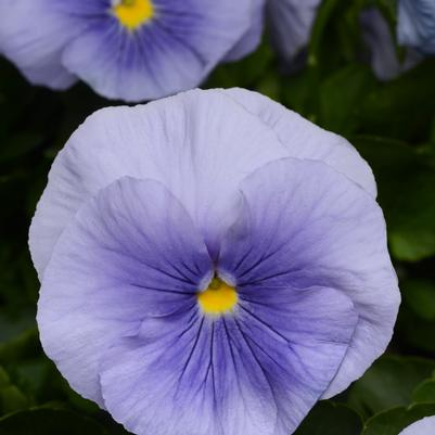 Pansy Matrix 'Light Blue'