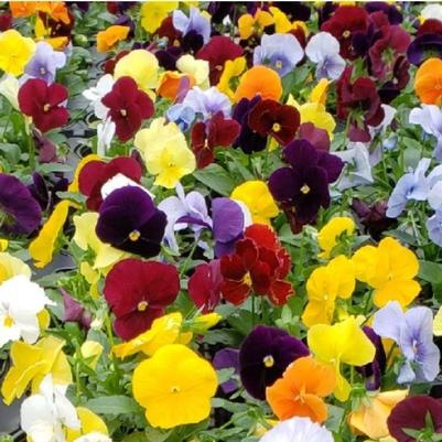 Pansy Matrix 'Mix Clear'