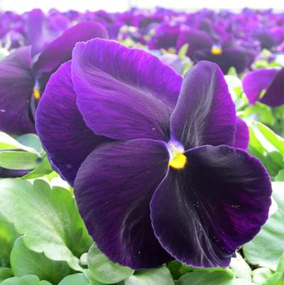 Pansy Matrix 'Purple'
