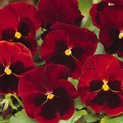 Pansy Matrix 'Red Blotch'
