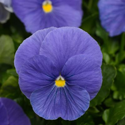 Pansy Matrix 'True Blue'