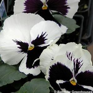 Pansy Matrix 'White Blotch'