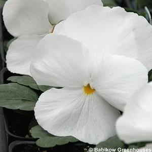 Pansy Matrix 'White'