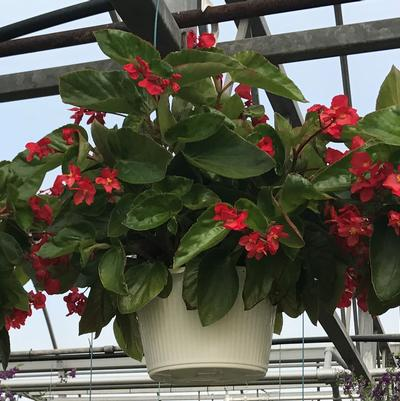 Begonia Hanging Basket Dragon Wing 'Red/Pink'