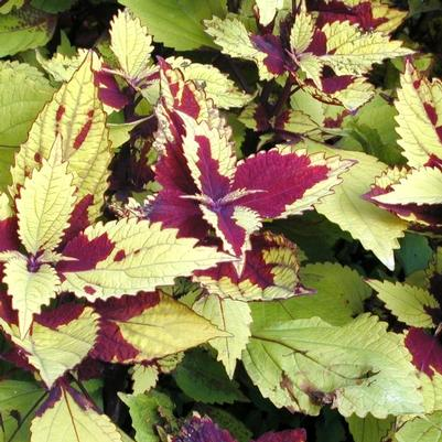 Coleus 'Pineapple'