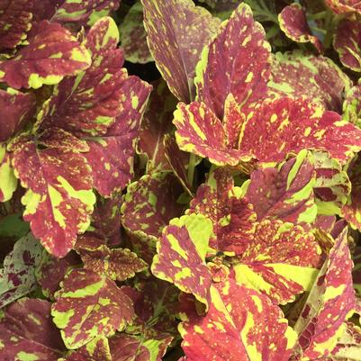 Coleus Sunlover Group 'Cranberry Salad'