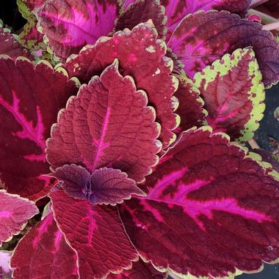 Coleus Solar Group 'Solar Red'