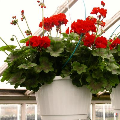 Geranium Hanging basket 'Assorted'