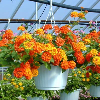 Lantana Hanging Basket 'assorted'