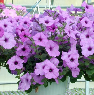 Petunia Hanging Basket 'Assorted'