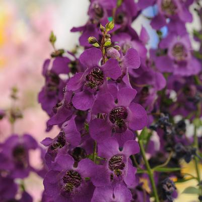 Angelonia Archangel 'Dark Purple'