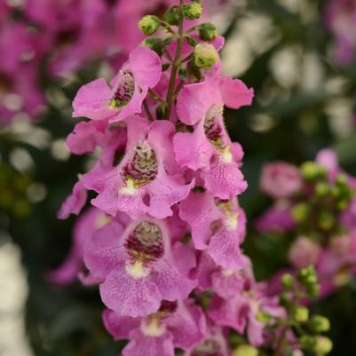 Angelonia Archangel 'Pink'