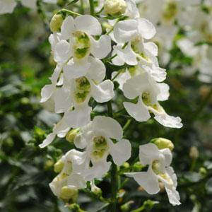 Angelonia Archangel 'White'