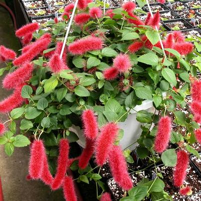 Acalypha Hanging Basket 'Firetail Plant'