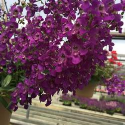 Angelonia Hanging Basket Angelmist 'dark purple / white'