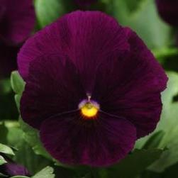 Pansy Panola 'Purple'