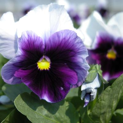 Pansy Matrix 'Beaconsfield'