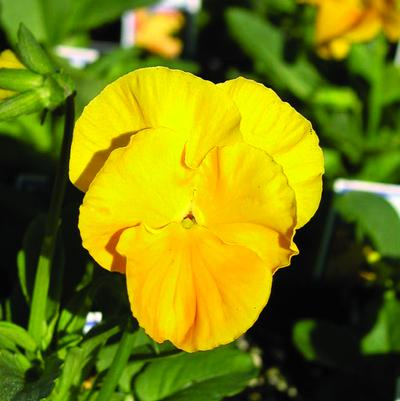 Pansy Panola 'Yellow'