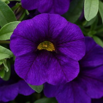 Calibrachoa Kabloom 'Deep Blue'