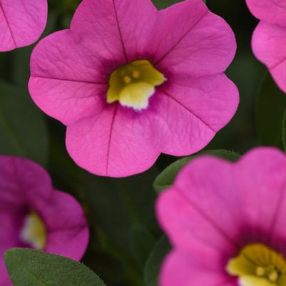 Calibrachoa Kabloom 'Deep Pink'