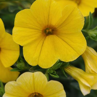 Calibrachoa Kabloom 'Yellow'