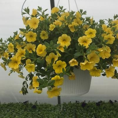 Calibrachoa Hanging Basket-Assorted Colors
