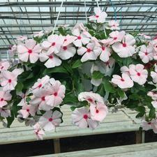 Vinca Mediterranean Hanging Basket 'Assorted Colors'