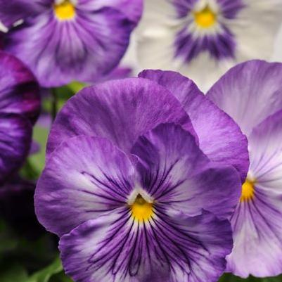 Pansy Matrix 'Lavender Shades'