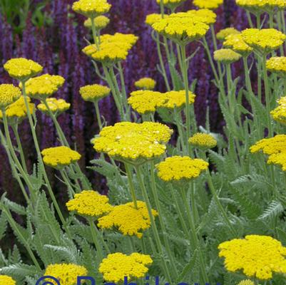 Achillea 'Cornation Gold'