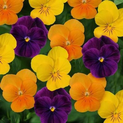 viola Sorbet 'XP Harvest Mix'