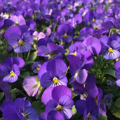 Viola Sorbet 'XP True Blue'