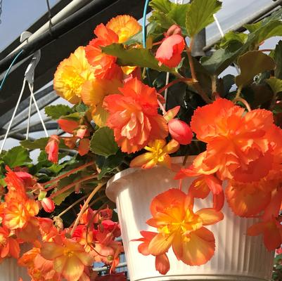 Begonia Hanging Basket 'Illumination'