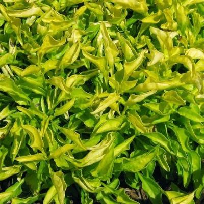 Alternanthera 'True Yellow'