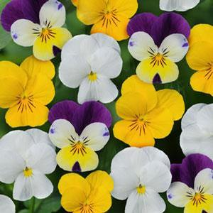 Viola Sorbet XP 'Lemon Parfait Mix'