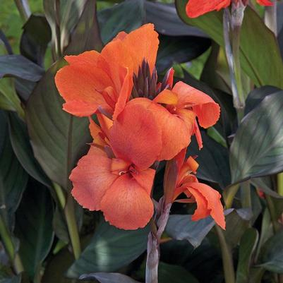 Canna Cannova Bronze Orange ()
