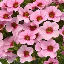 Calibrachoa Kabloom 'Light Pink Blast'