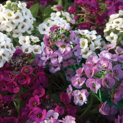 Alyssum Clear Crystal 'Mix'