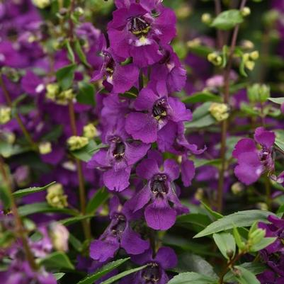 Angelonia Serena 'Purple Improved'