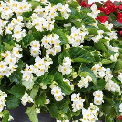 Begonia Big 'White with Green Leaf'