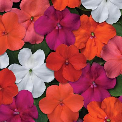 Impatiens Beacon 'Mix Select'