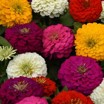 Zinnia Zesty 'Mix'