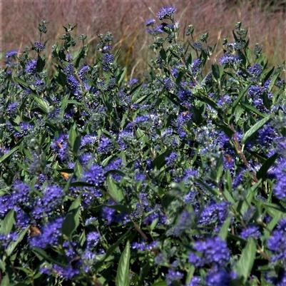 Caryopteris 'Dark Knight'