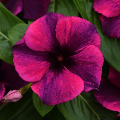 Vinca Tattoo Black Cherry ()