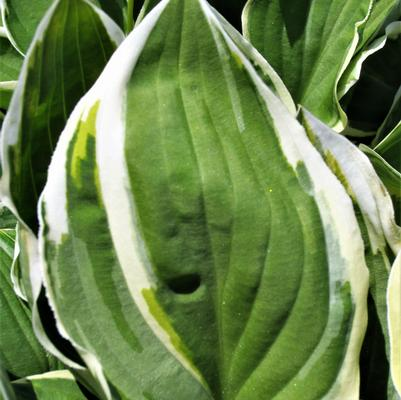 Hosta x 'Diamond Tiara'