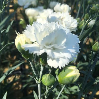 Dianthus 'Early Bird Frosty'