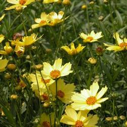Coreopsis ver. 'Full Moon Big Bang'
