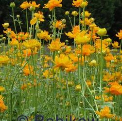 Trollius chi. 'Golden Queen'