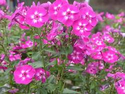 Phlox pan. 'Laura'