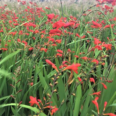 Crocosmia x 'Lucifer'