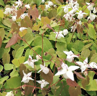 Epimedium you. 'Niveum'